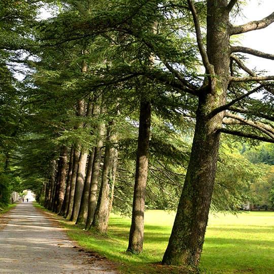Allée de grands cèdres menant à l'Auberge des Dauphins, au coeur de la forêt de Saoû.