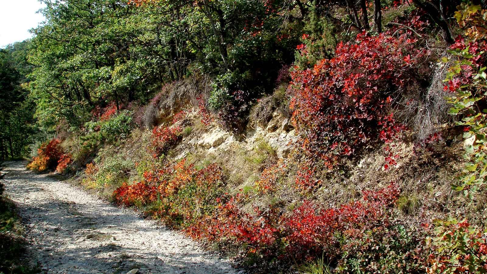 Chemin au cœur de la végétation verte et rouge de la forêt de Saoû.