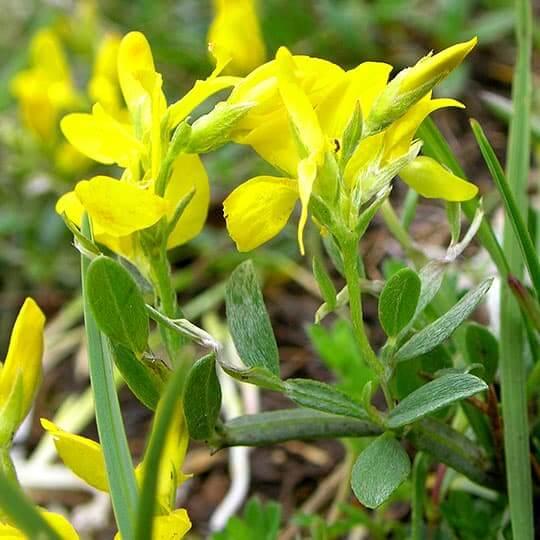 Fleurs sauvages jaunes de genêt de la forêt de Saoû.