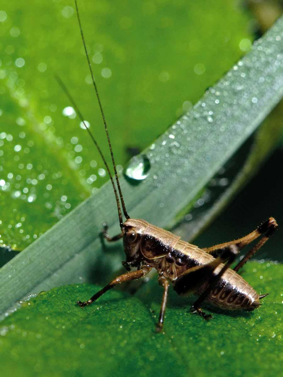 Un insecte marron posé sur une feuille.