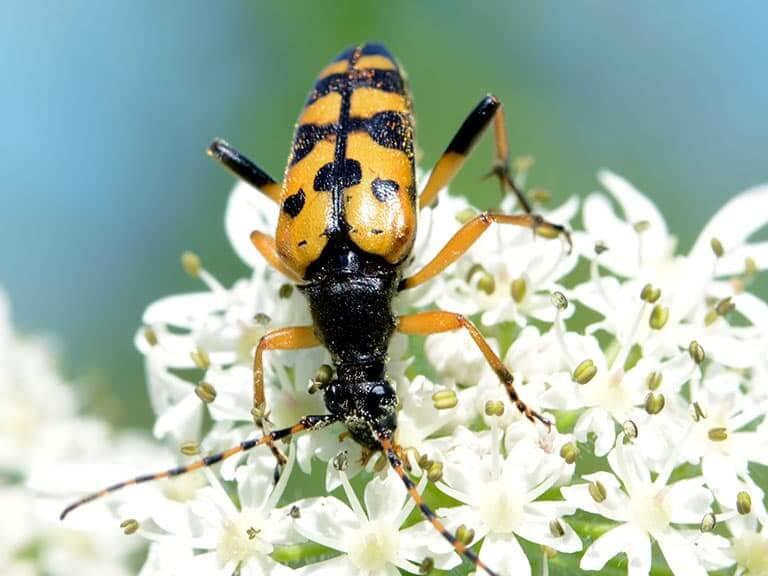 Insecte noir et orange sur des fleurs blanches de la forêt de Saoû.