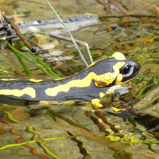 Salamandre tachetée noire et jaune de la forêt de Saoû.