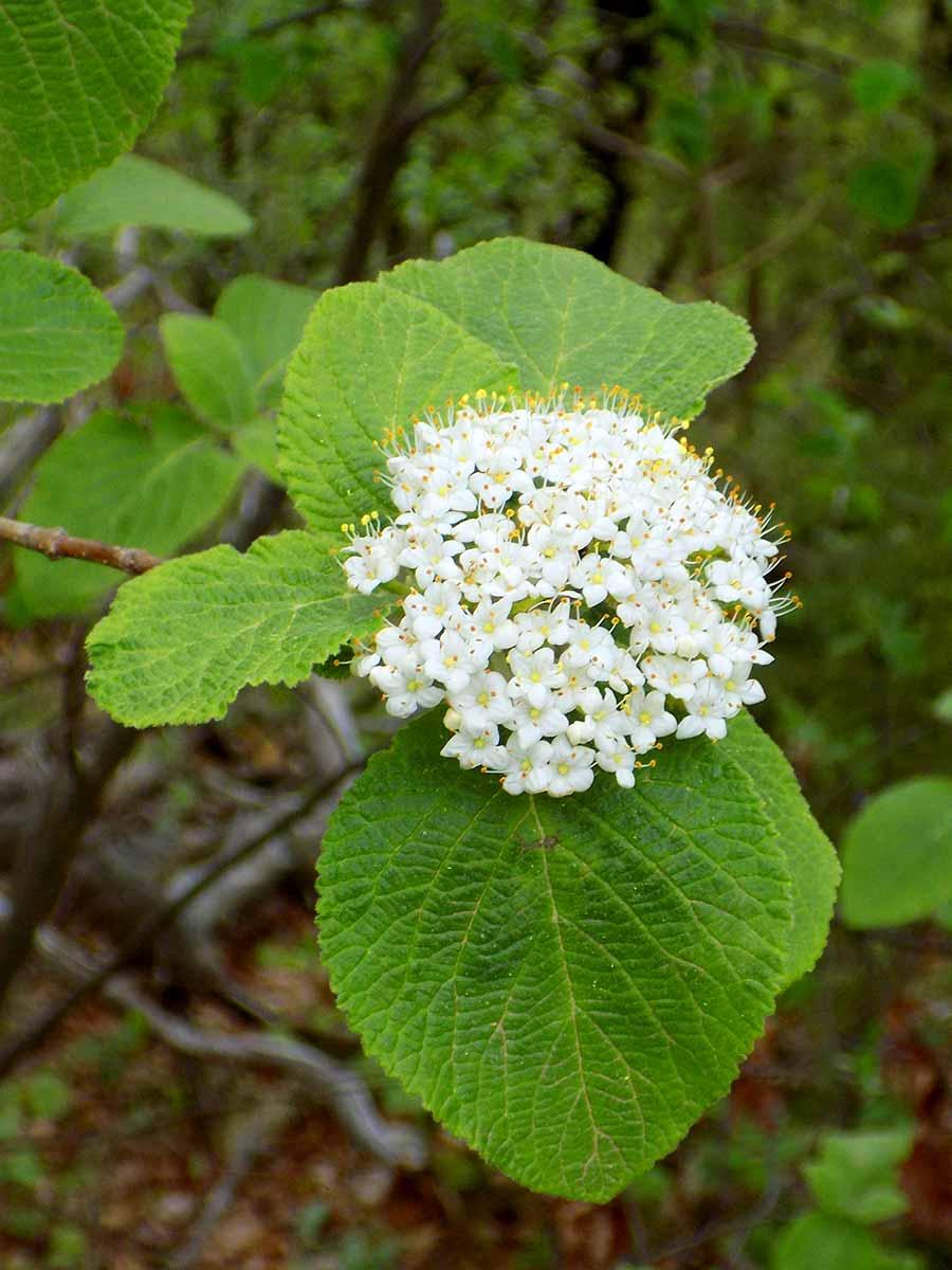 Fleur sauvage blanche de la forêt de Saoû.